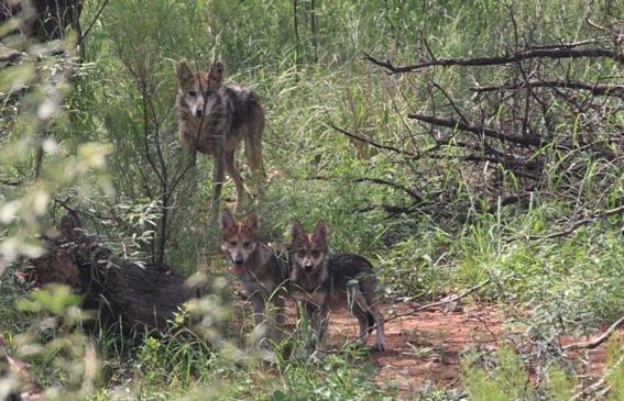 siete lobos grises mexicanos fueron liberados a la vida silvestre 1