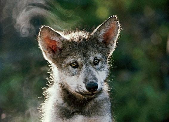 siete lobos grises mexicanos fueron liberados a la vida silvestre 2