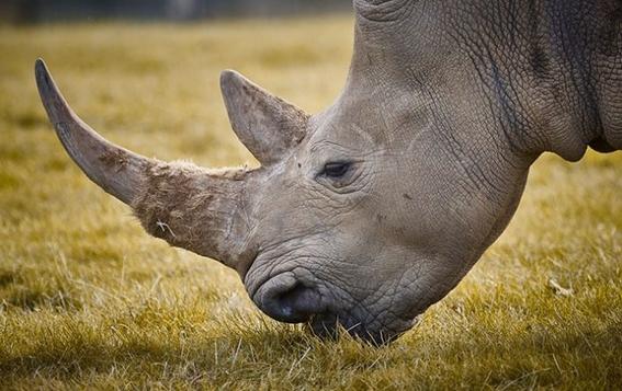 liberan a traficante de rinocerontes en sudafrica 2
