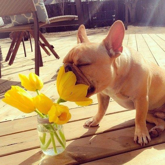significado de los tulipanes 4