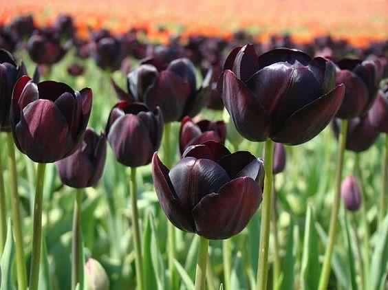 significado de los tulipanes 7