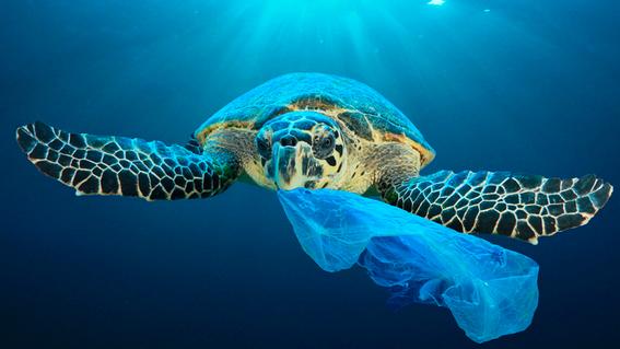 encuentran plastico dentro de la mitad de las tortugas 1