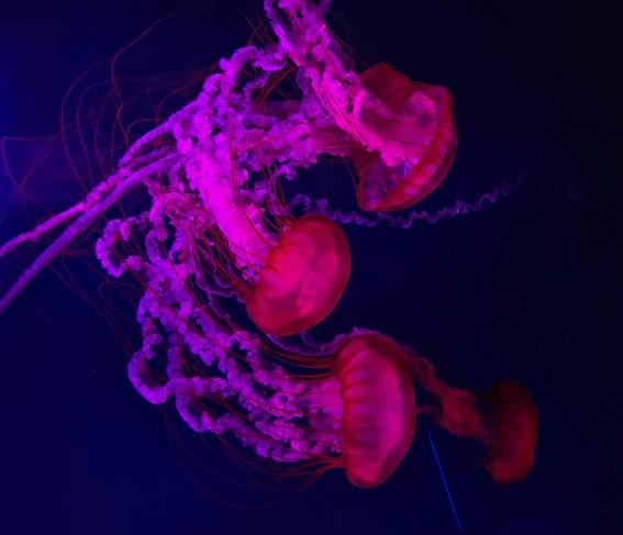 buscan usar fluorescencia de medusas para luz led 2