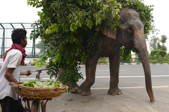 ultimos elefantes de nueva delhi son obligados a salir de las calles 2
