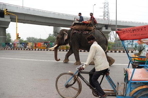 ultimos elefantes de nueva delhi son obligados a salir de las calles 3
