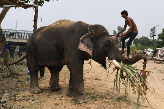 ultimos elefantes de nueva delhi son obligados a salir de las calles 4