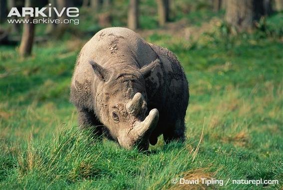ocho cosas que tienes que saber sobre rinocerontes 1