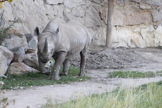 ocho cosas que tienes que saber sobre rinocerontes 5