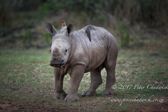 ocho cosas que tienes que saber sobre rinocerontes 6