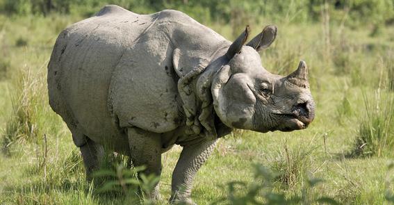 ocho cosas que tienes que saber sobre rinocerontes 7