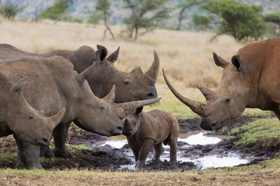 ocho cosas que tienes que saber sobre rinocerontes 3
