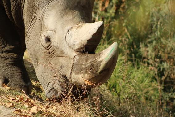 ocho cosas que tienes que saber sobre rinocerontes 4