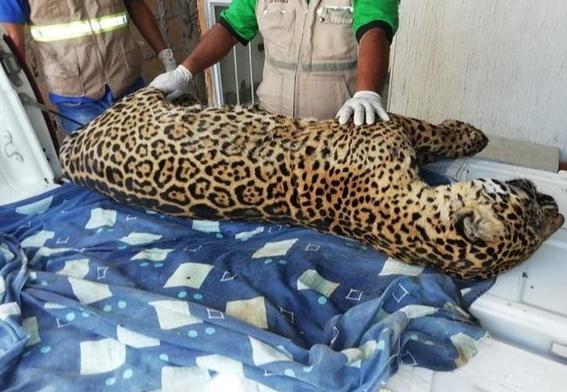 exhiben en redes cadaver de jaguar mexicano 1