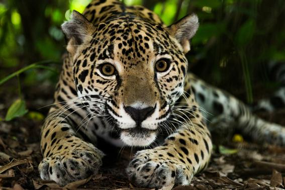 exhiben en redes cadaver de jaguar mexicano 3