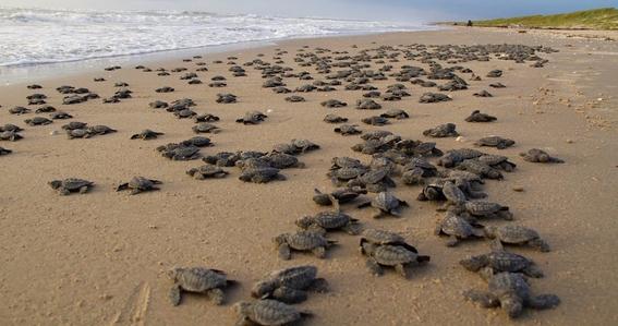 convierten playa de oaxaca mexico en santuario de tortugas marinas 2