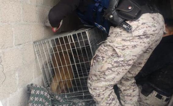 policias atrapan una martucha en cdmx 2