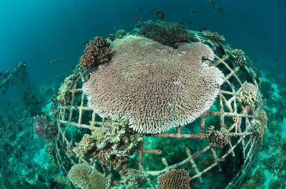 cientificos buscan salvar gran barrera de coral con electricidad 2
