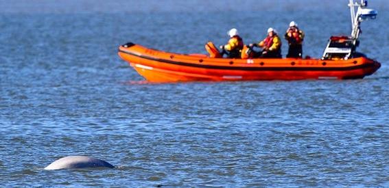 preocupa a ecologistas beluga perdida que aparece en el tamesis 2