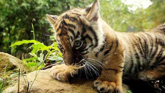 encuentran un tigre de sumatra muerto en indonesia 2