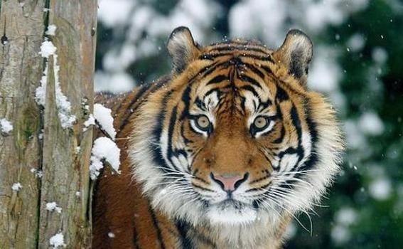 encuentran un tigre de sumatra muerto en indonesia 1