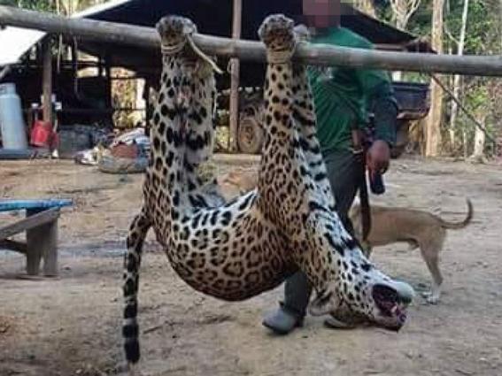 jaguares asesinados para hacer medicina tradicional china 1