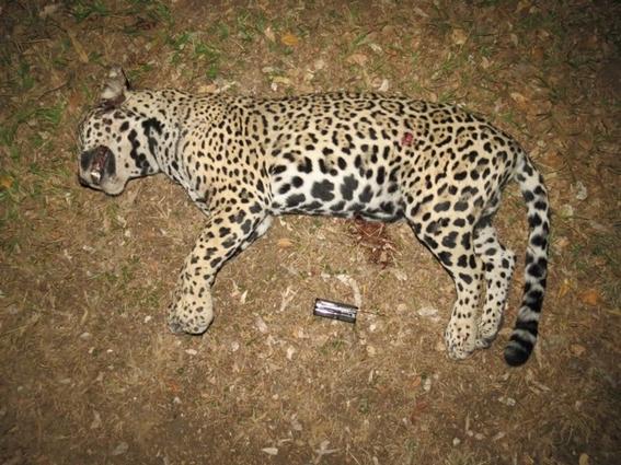 jaguares asesinados para hacer medicina tradicional china 2