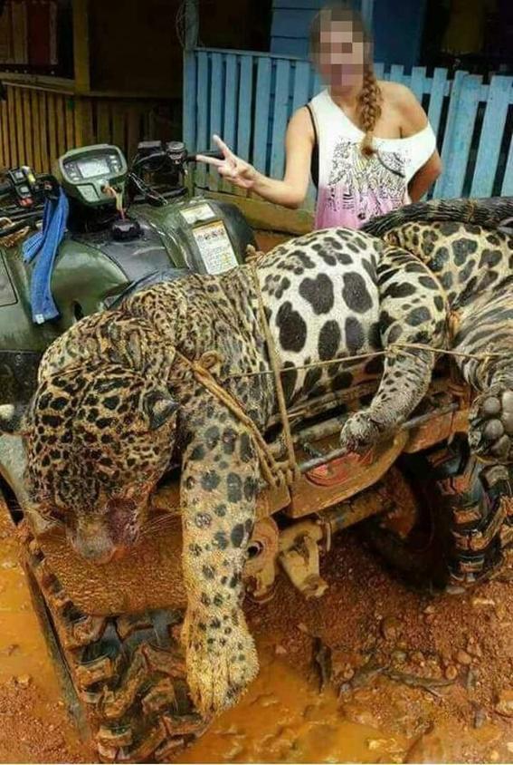 jaguares asesinados para hacer medicina tradicional china 3