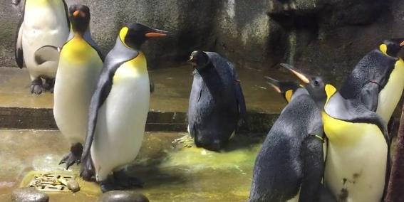 pareja de pingüinos gay secuestra a cria abandonada 1