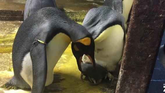 pareja de pingüinos gay secuestra a cria abandonada 3