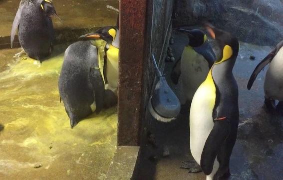 pareja de pingüinos gay secuestra a cria abandonada 2