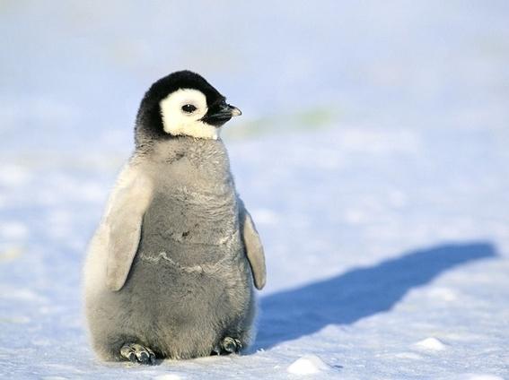 pareja de pingüinos gay secuestra a cria abandonada 4