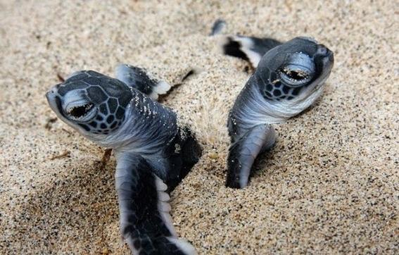 nacen 300 tortugas en peligro de extincion 1