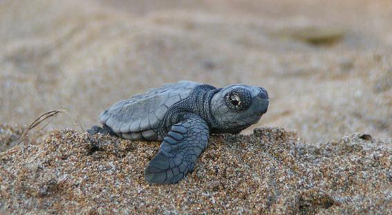 nacen 300 tortugas en peligro de extincion 2
