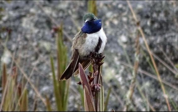 ecuador descubre una nueva especie de colibri estrella de garganta azul 3