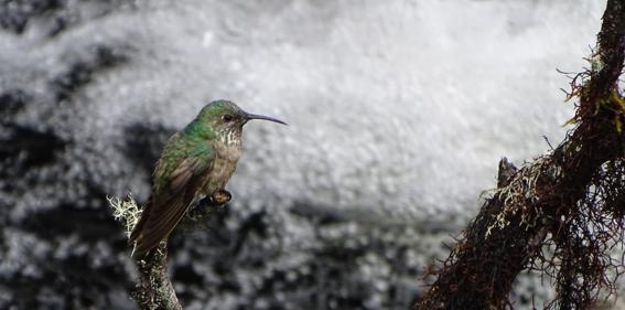 ecuador descubre una nueva especie de colibri estrella de garganta azul 4