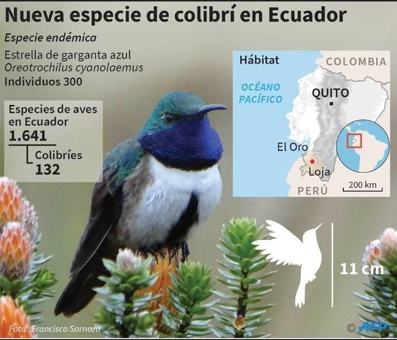 ecuador descubre una nueva especie de colibri estrella de garganta azul 5