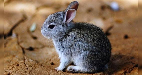 conanp niega extincion del conejo teporingo 2