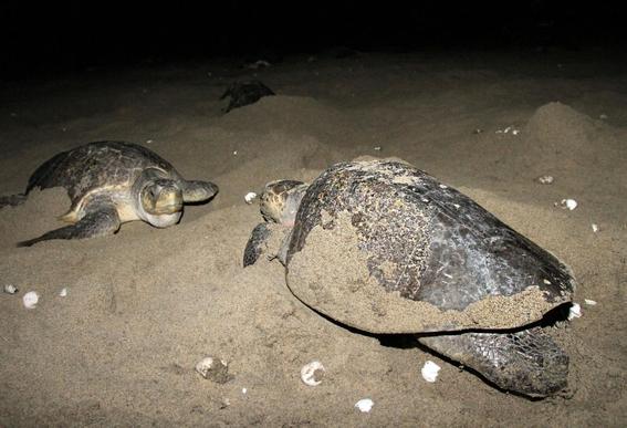 se pierden mas de 2 mil huevos de tortuga golfina en mexico 1