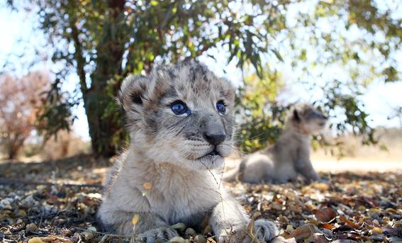 nacen leones concebidos por inseminacion artificial en sudafrica 1