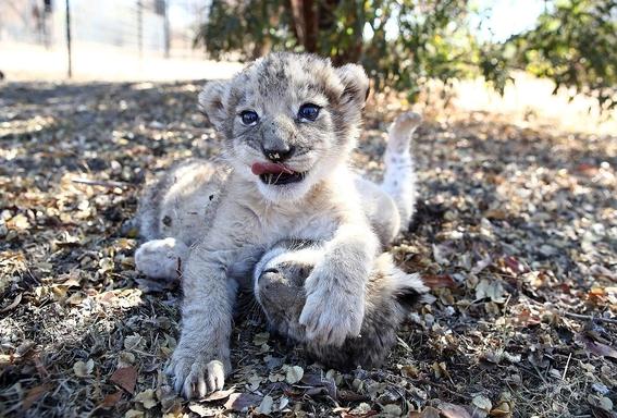 nacen leones concebidos por inseminacion artificial en sudafrica 3