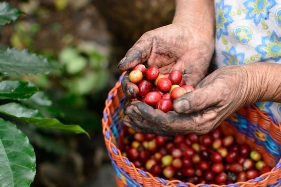 la crisis de la industria del cafe 3