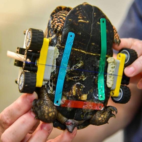 hacen silla de ruedas lego a una tortuga para caminar 1