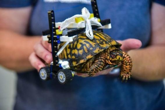 hacen silla de ruedas lego a una tortuga para caminar 2