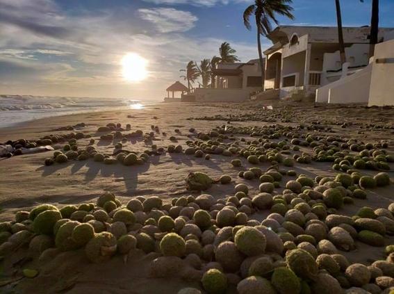 aparecen miles de bolas verdes en playa de sonora 2