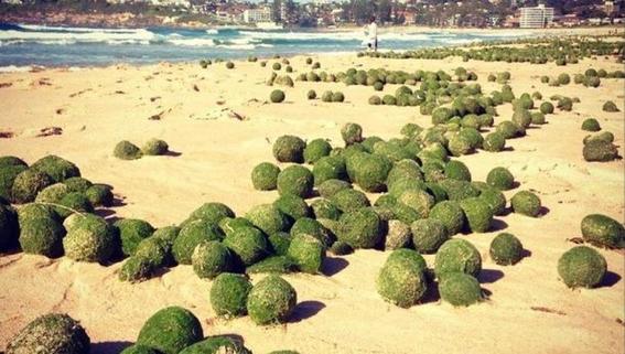 aparecen miles de bolas verdes en playa de sonora 3