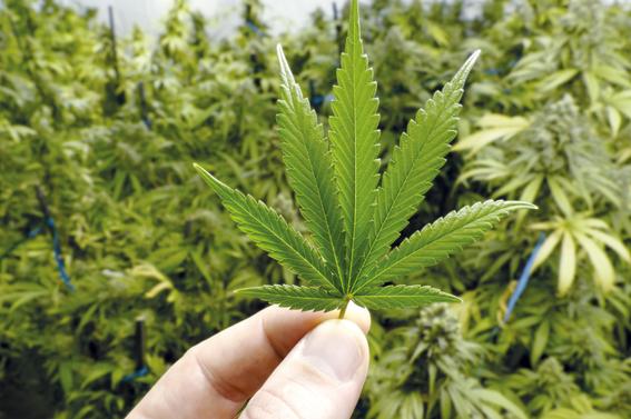 anuncian foro del cannabis en mexico para uso medicinal 1