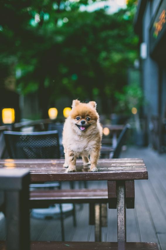 razas de perros pequenos 3