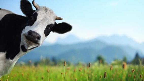 agolin para reducir los eructos de vacas para combatir el cambio climatico 1
