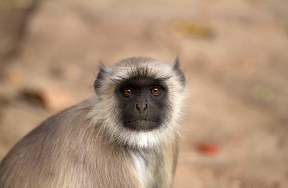 mono al volante en la india 1