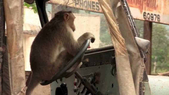 mono al volante en la india 2